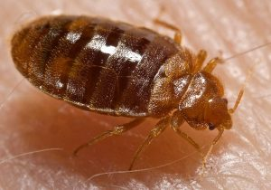 bed-bugs-300x210 Healthy Living- Importance of Treating and Controlling Bed Bugs