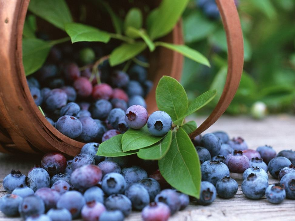 bilberry 6 Super foods to improve your Eyesight you should know