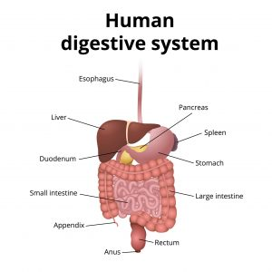 67400090_l-300x300 Where Is My Liver - A Quick Ultimate Guide!