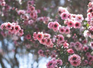 leptospermum-scoparium-manuka-600x428